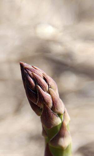 asparago new