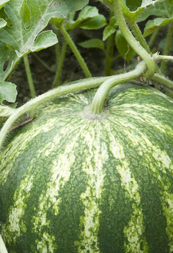 Watermelone